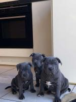 IKC Blue staff puppies in Cork for sale.