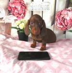 Miniature Dachshunds for sale.