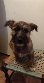 Westie Terrier for sale.
