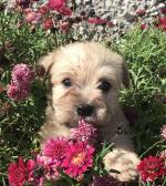 Wauzer puppies in Wexford for sale.