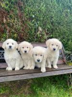 Golden Retriever Puppies IKC Registered and ready to go to their new home for sale.
