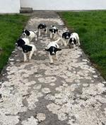 Springer Spaniels puppies for sale.