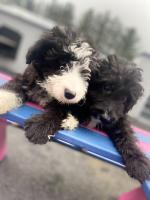 Beautiful Sproodle Puppies for sale.
