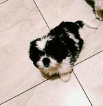 Male Shih Zhu puppy for sale.