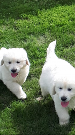 IKC Golden Retrievers - Parents Health tested for sale.