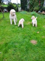 Poodle in Kilkenny for sale.