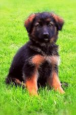 Champion pedigree German Shepherd pups ready to go [sold].