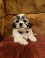Shih Tzu puppies in Westmeath for sale.