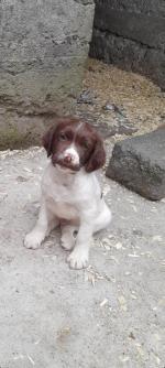 Springer Spaniel Male Pup for sale.