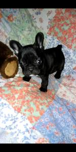 Rocky & Sally French Bulldogs for sale.