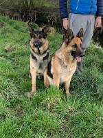 2 female German Shepard -  10 weeks old - Fully vaccinated&microchipped for sale.