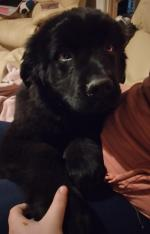 IKC Registered Newfoundland puppies for sale.