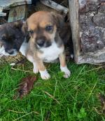 Terrier puppies in Offaly for sale.