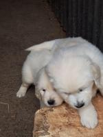 IKC Retriever Puppies in Tipperary for sale.
