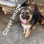 German Shepard puppies in Kilkenny for sale.