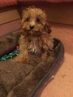 Cavapoo puppies in Wexford for sale.
