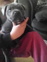 Blue Staffordshire bull terrier puppies [sold].