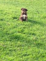 Kelpie-Collie cross in Westmeath for sale.