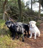 IKC Pedigree Male Labrador puppies for sale.