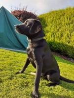 Black Labrador puppy in Longford for sale.