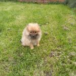 4 Pomeranian pups for sale for sale.