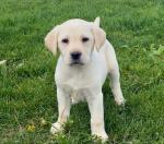 Gorgeous IKC Golden Labrador Puppies for sale.