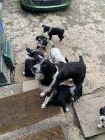 Old English sheep dog collie cross. for sale.