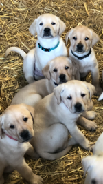 IKC Labrador puppies in Wexford for sale.