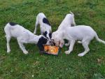 English Setter pups for sale.