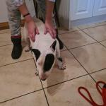 Candy the Bull Terrier Adult for sale.