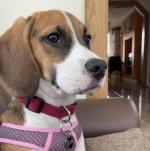 Millie the Beagle in Offaly for sale.