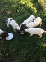 IKC Springer Spaniel puppies for sale.