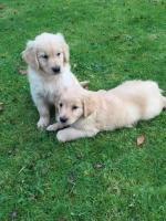 IKC Registered Golden Retriever puppies for sale.