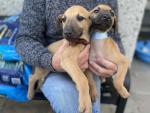 Lurcher pups for sale.