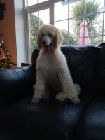 IKC Standard poodle puppies for sale.