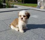 Shihtzu pups for sale.