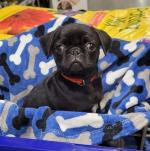Female black Pug Puppy for sale.