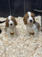 Cocker Spaniel pups for sale for sale.