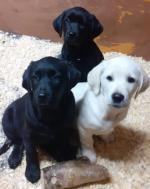 Retriever/labrador pups in Tipperary for sale.