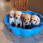 Golden Labrador Puppies for sale.
