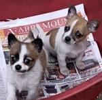 Chihuahua Puppys for sale.