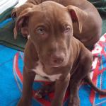 American pit bull terrier RedNose [sold].