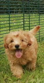 Cavapoos in Roscommon for sale.