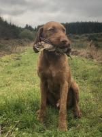 Hungarian wirehaired vizsla for sale.
