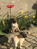 Pug  puppies IKC registered [sold].