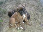 Brindle Boxer Puppies for sale.
