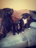 Staffordshire Bull Terrier Pups for Sale - IKC Registered - 086 3503385 for sale for sale.