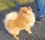 1 MALE  Pomeranian [sold].