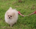 3 Female Pomeranian Puppies [sold].