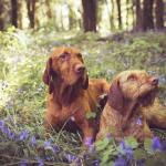 Hungarian wirehaired vizla for sale.